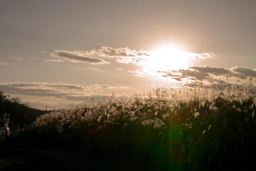 夕日に輝くすすき